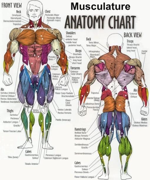anatomy - musculature